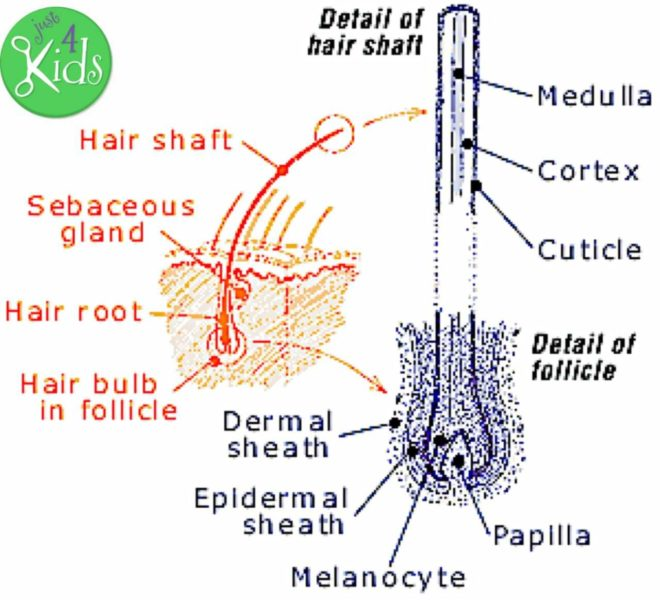 The Importance of Fully Knowing the Hair Type of Your Child - Hair Structure - Follicle Chart